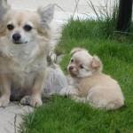 Čivava (Chihuahua) 1