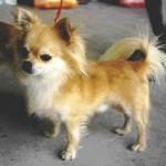 Čivava (Chihuahua) 5