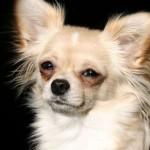 Čivava (Chihuahua) 7