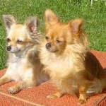 Čivava (Chihuahua) 8