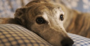 Anglický chrt (Greyhound)1