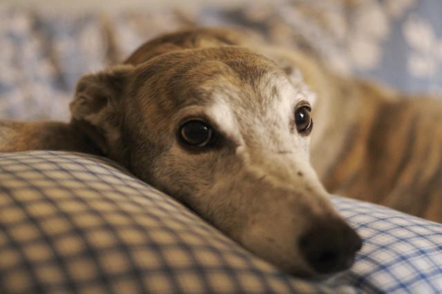 Anglický chrt (Greyhound)1 281215bf4d