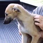 Anglický chrt (Greyhound)2
