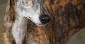 Anglický chrt (Greyhound)3