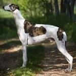 Anglický chrt (Greyhound)4