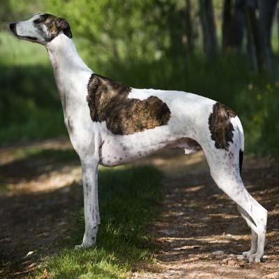 Anglický chrt - Plemena psů 4cf170d0de