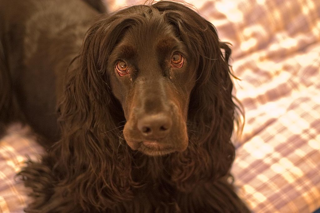 Anglický kokršpaněl - Plemena psů fed775cab9