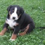 Appenzellský salašnický pes (Appenzeller Sennenhund)-1