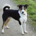 Appenzellský salašnický pes (Appenzeller Sennenhund)-2