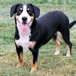 Appenzellský salašnický pes (Appenzeller Sennenhund)-3