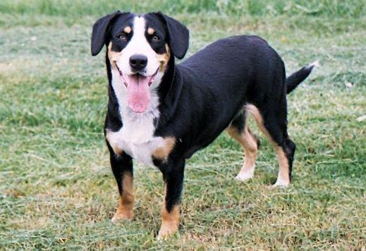 56e4597b667 Appenzellský salašnický pes - Plemena psů