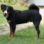Appenzellský salašnický pes (Appenzeller Sennenhund)-4