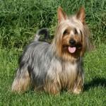 Australský silky teriér (Australian Silky Terrier)-6