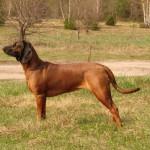 Bavorský barvář (Bavarian Mountain Scenthound)-1