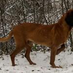 Bavorský barvář (Bavarian Mountain Scenthound)-2
