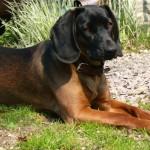 Bavorský barvář (Bavarian Mountain Scenthound)-3