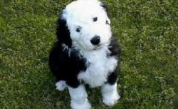 Bobtail (Old English Sheepdog) 3