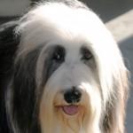 Bobtail (Old English Sheepdog) 5