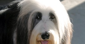 Bobtail (Old English Sheepdog) 5