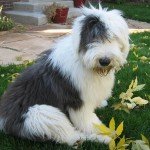 Bobtail (Old English Sheepdog) 8