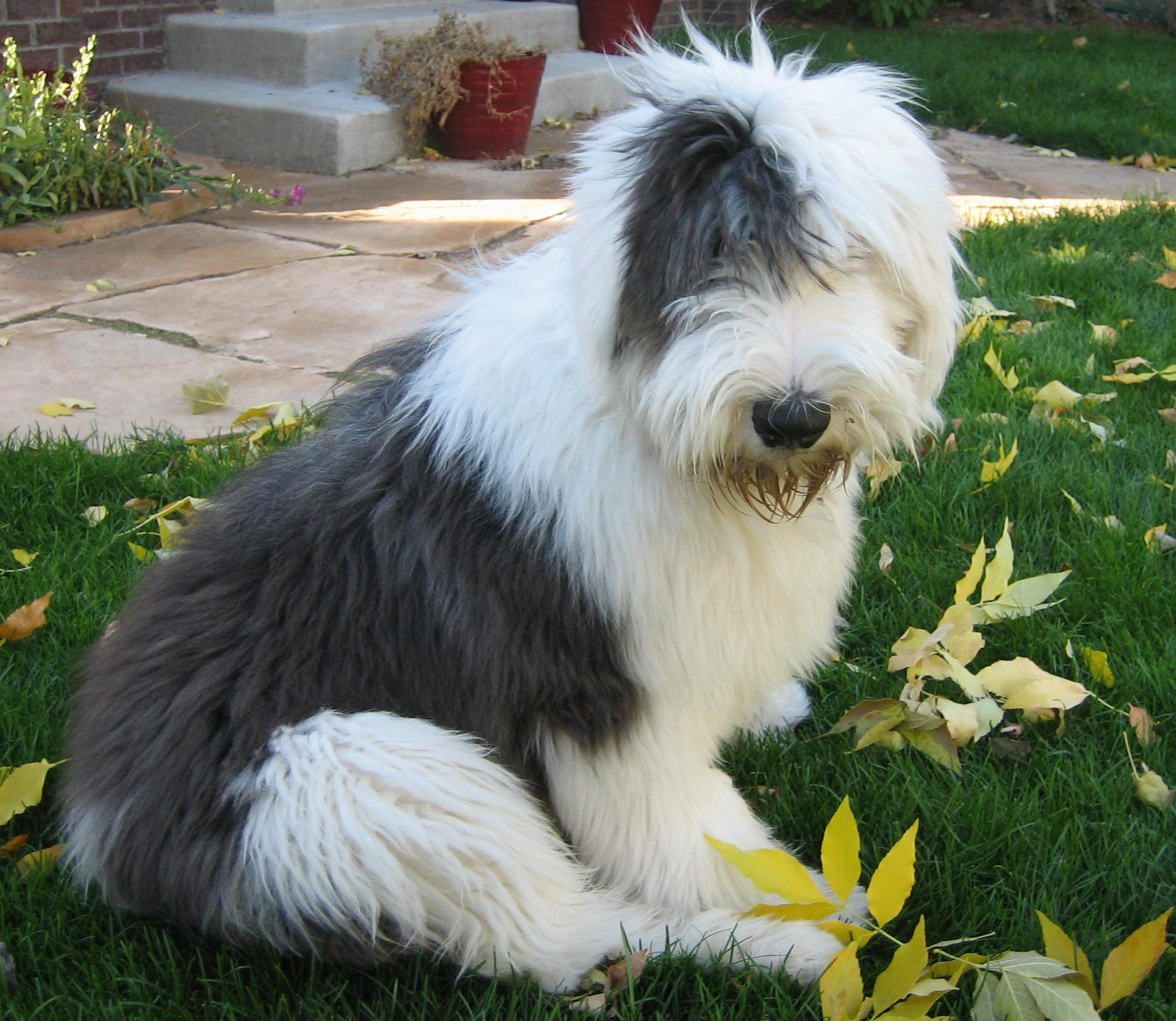 Bobtail - Plemena psů