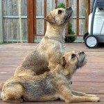 Border teriér (Border Terrier)-1