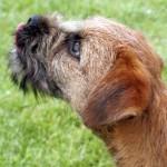 Border teriér (Border Terrier)-2