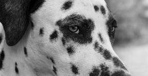 Dalmatin (Dalmatinac, Dalmatian) 5