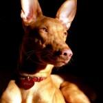Faraónský pes (Pharaoh Hound) 2