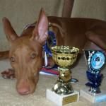 Faraónský pes (Pharaoh Hound) 4