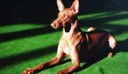 Faraónský pes (Pharaoh Hound) 6