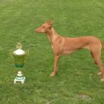 Faraónský pes (Pharaoh Hound) 8
