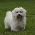 Havanský psík - Bišonek 1