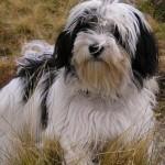 Havanský psík - Bišonek 2