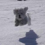 Havanský psík - Bišonek 3