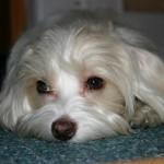 Havanský psík - Bišonek 4
