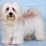 Havanský psík - Bišonek 7