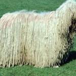 Komondor (Maďarský ovčák) 1