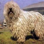 Komondor (Maďarský ovčák) 2