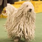 Komondor (Maďarský ovčák) 3