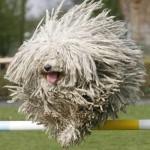Komondor (Maďarský ovčák) 4