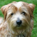 Norfolk teriér (Norfolk Terrier) 1