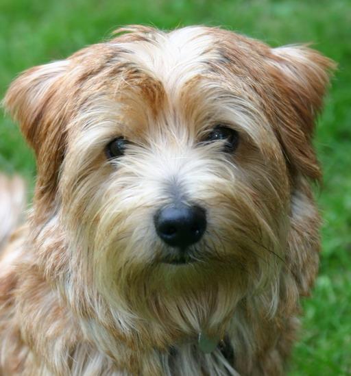 a45691abeae ZÁKLADNÍ CHARAKTERISTIKA  Norfolský teriér je odvážný pes