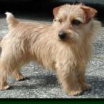 Norfolk teriér (Norfolk Terrier) 2