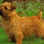 Norfolk teriér (Norfolk Terrier) 4