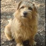 Norfolk teriér (Norfolk Terrier) 6