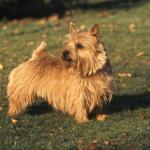Norwich terier (Norwich Terrier) 7