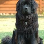 Novofundlandský pes (Newfoundland) 1