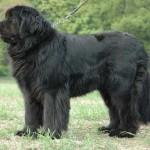 Novofundlandský pes (Newfoundland) 3
