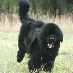 Novofundlandský pes (Newfoundland) 5